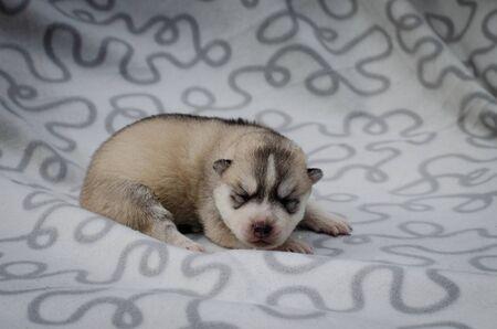 Photo of a little gray husky puppy on a plaid Banco de Imagens