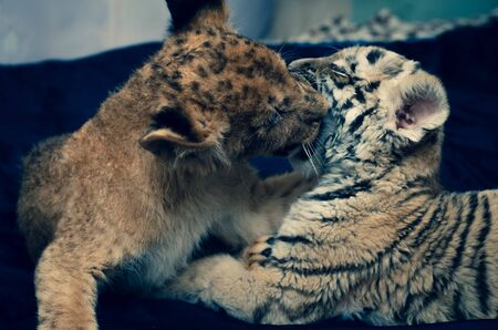 Photo of a game and biting a lion cub and a tiger cub