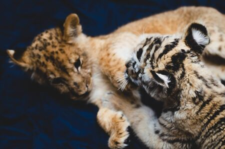 Game picture of a lion cub and a tiger cub