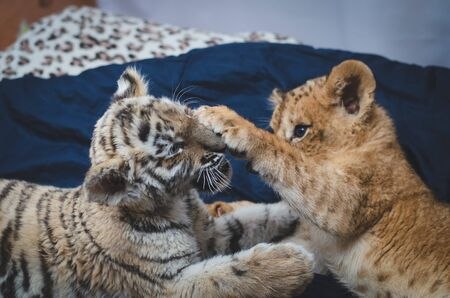 Photo of a game of a lion cub and a tiger cub where a lions paw on the face of a tiger