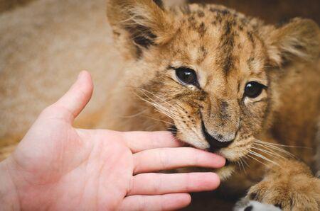 Photo of a lion cub biting a human hand