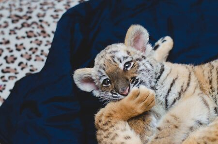 Photo in which a tiger cub bites a lions paw in the game