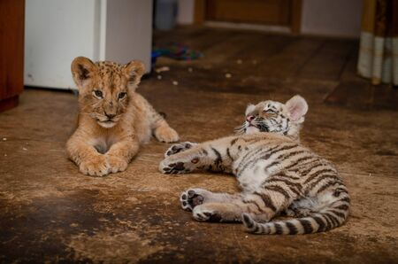 Photo of a lion cub and a tiger cub lying nearby, where the tiger cub turned away