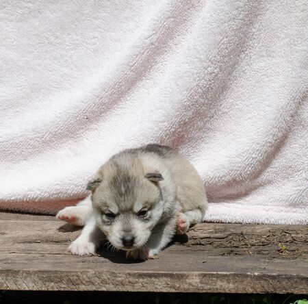 Little gray and white husky puppy on a white background