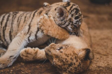 Photo of fighting lion cub and tiger cub, where a tiger cub bites a lion.