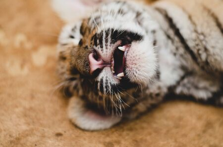A close-up photograph of a muzzle of a tiger cub. Focus on fangs and jaws Banco de Imagens