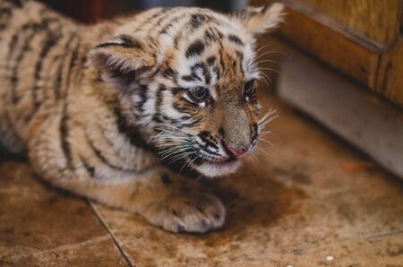 Photo of a tiger cub at home on the floor with clasped ears.