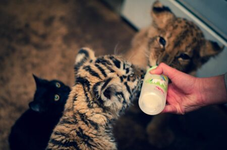 Tiger cub, lion cub and domestic cat reach for a baby bottle with milk