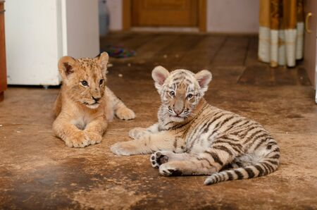 Photo of a lion cub and a tiger cub lying nearby Banco de Imagens