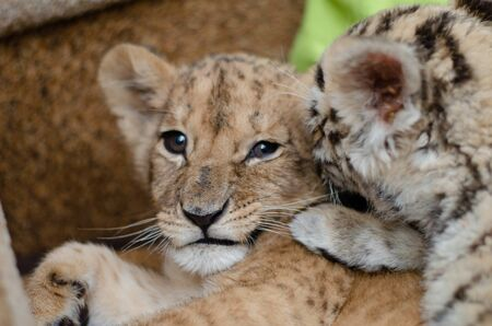 Photo where the tigress put a lion cub paw on her shoulder