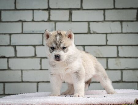 Photo of a three-week-old husky puppy on a wall background