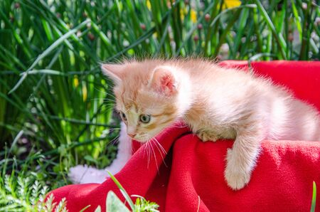 Photo of a red kitten on a red plaid on a background of green grass