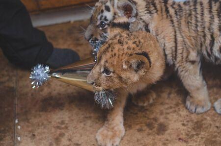 photo of a lion cub and a tiger cub and a holiday cap Banco de Imagens