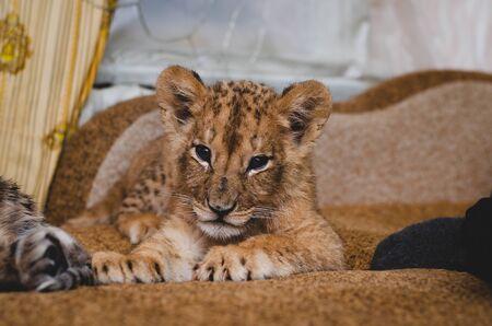 Lion cub lying on the sofa