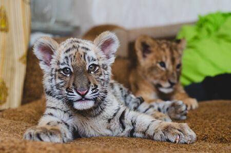 photo of a tiger cub behind which lies a lion cub.