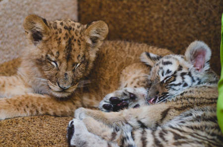 Photo of a squinting lion cub and a tiger cub lying together on a sofa.