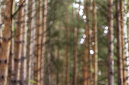 Blurred background. Photo of pine forest for wallpaper and screensavers