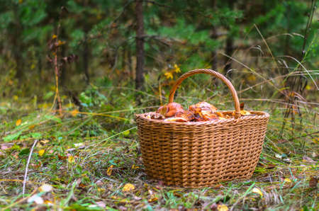 Basket with edible mushrooms in the autumn pine forest.