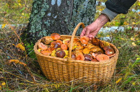 Hand, laying an edible mushroom in a trug standing under a tree in-field