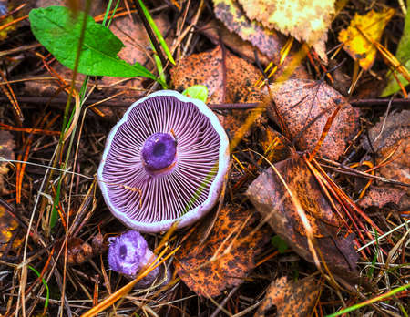 Edible forest mushroom of violet color, Latin name Cortinarius violaceus Фото со стока