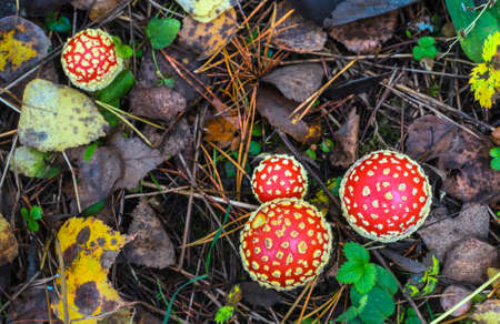 group of red amanita in the autumn forest on a cloudy day with needles in the background Фото со стока