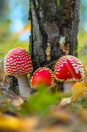 group of red amanita in the autumn forest with needles in the background