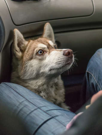 Happy dog traveling in the car