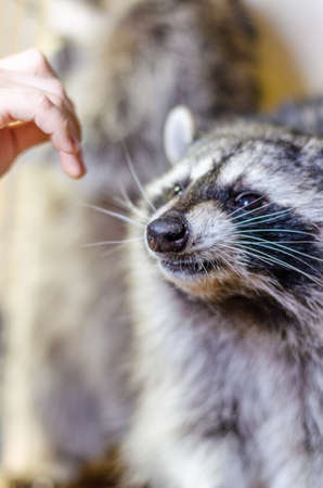 Closeup view of male hand trying to pet the cute raccoon