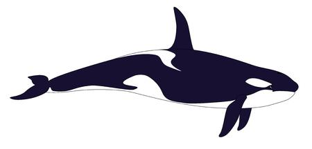 Ballena asesina. grampus realista aislado en un fondo blanco. Orcinus orca. Ilustración del vector.