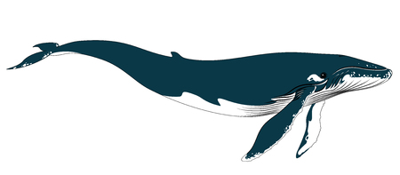 cetacean: Vector illustration of realistic big blue whale on a white background.