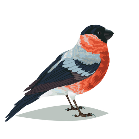 ornithologist: Realistic bird Bullfinch isolated on a white background. Vector illustration of realistic bird Bullfinch for your journal article or encyclopedia. Illustration