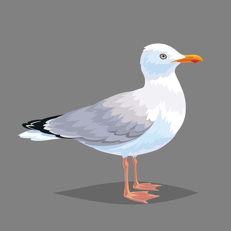 encyclopedic: Realistic bird Seagull isolated on a white background. Vector illustration of realistic bird European Herring Gull for your journal article or encyclopedia.