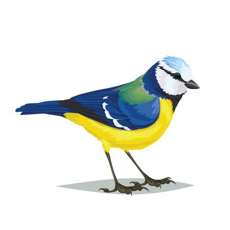 pájaro realista Eurasia tit azul aislado en un fondo blanco. Ilustración vectorial de realista ave pequeño pájaro del tit azul eurasiático por su artículo de revista o una enciclopedia.