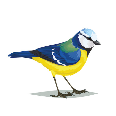 Realistic bird Eurasian blue tit isolated on a white background. Vector illustration of realistic small passerine bird Eurasian blue tit for your journal article or encyclopedia. Illustration