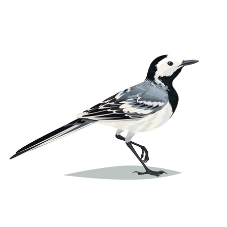 ornithologist: Realistic bird Wagtail isolated on a white background. Vector illustration of realistic bird Wagtail for your journal article or encyclopedia.