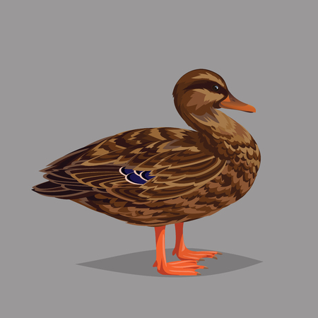 encyclopedic: Realistic bird Wild Duck isolated on a grey background. Vector illustration of realistic female bird Mallard for your design, journal article and encyclopedia.