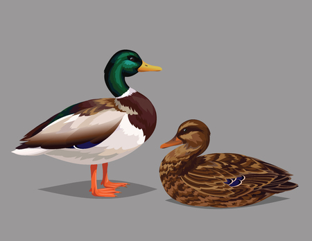 ornithologist: Realistic birds Wild Ducks isolated on a grey background. Illustration