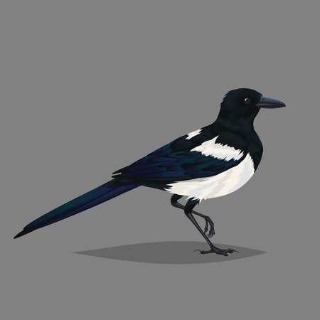 Realistic bird Magpie isolated on a grey background.