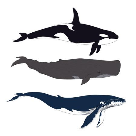 Conjunto de ballenas en estilo realista simple. Vector.