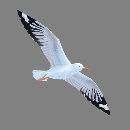 Realistic bird Seagull isolated on a grey background. Vector illustration of European Herring Gull. Illustration