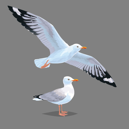 Realistic bird Seagull isolated on a grey background. Vector illustration of European Herring Gull for your journal article or encyclopedia. Element for your design. Flying and standing bird. Illustration