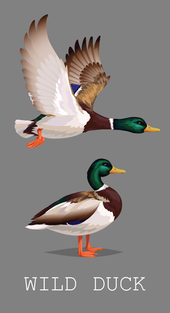 Wild Duck standing and flying. Drake. Vector illustration of realistic bird Mallard isolated on a grey background for your design, print, banner, card, journal article, blog. Duck hunting