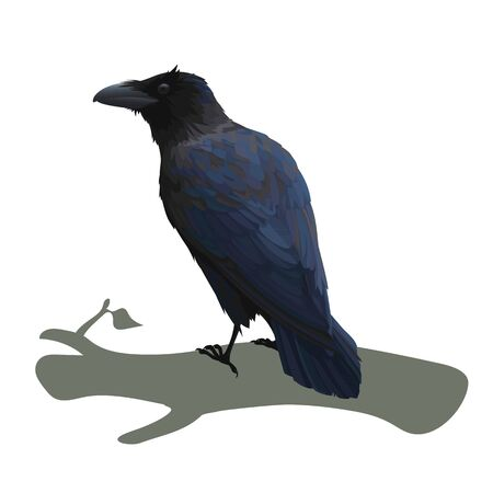Realistic raven sitting on a branch. Colorful vector illustration of smart bird Corvus Corax in hand drawn realistic style isolated on white background. Element for your design, print, decoration.