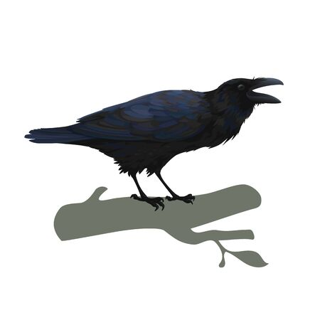 Realistic raven sitting and cawing. Colorful vector illustration of smart bird Corvus Corax in hand drawn realistic style isolated on white background. Element for your design, print, decoration.