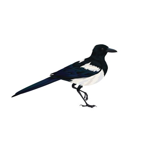 Realistic magpie sitting. Colorful vector illustration of intelligent bird Eurasian Magpie in hand drawn realistic style isolated on white background. Element for your design, print, decoration.