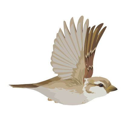 Realistic sparrow flying. Colorful vector illustration of little female bird sparrow in hand drawn realistic style isolated on white background. Element for your design, print, decoration.