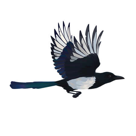 Colorful vector illustration of intelligent bird Eurasian Magpie in hand drawn realistic style isolated on white background. Realistic magpie flying. Element for your design, print, decoration.