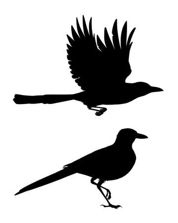 Realistic magpie flying and sitting. Monochrome vector illustration of black silhouettes of intelligent bird Eurasian Magpie isolated on white background. Element for your design, print, artwork.