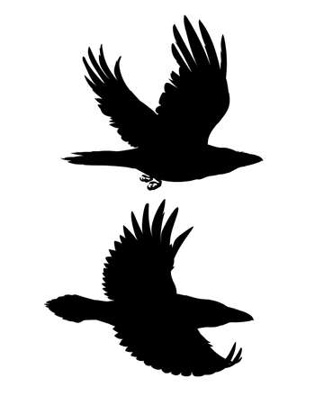 Couple of realistic ravens flying. Monochrome vector illustration of black silhouettes of smart birds Corvus Corax isolated on white background. Element for your design, print. Stencil.