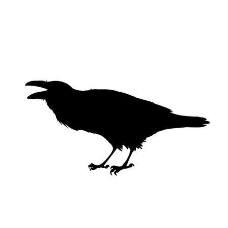 Realistic raven sitting and cawing. Monochrome vector illustration of black silhouette of smart bird Corvus Corax isolated on white background. Element for your design, print, decoration.